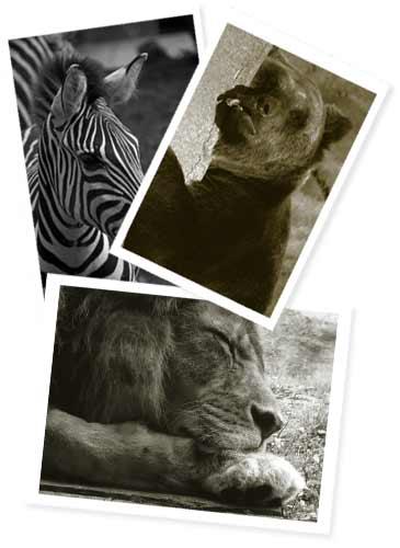 シマウマ、クマ、ライオン