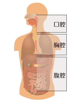 人体の口腔・胸腔・腹腔の図解イラスト