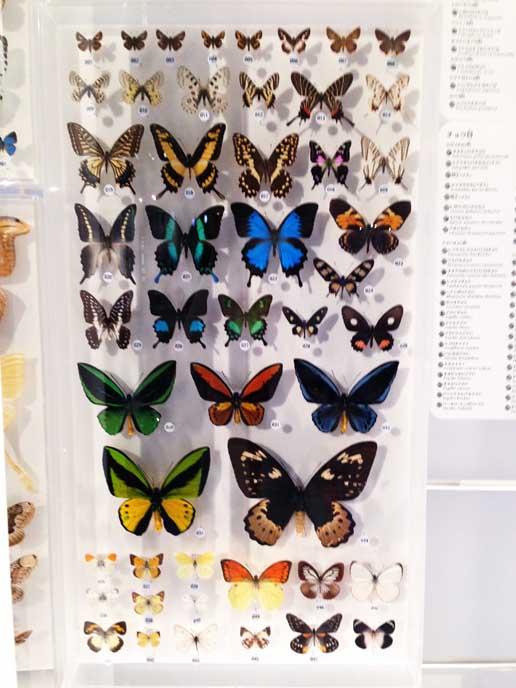 標本のカラフルな蝶々がとても綺麗!