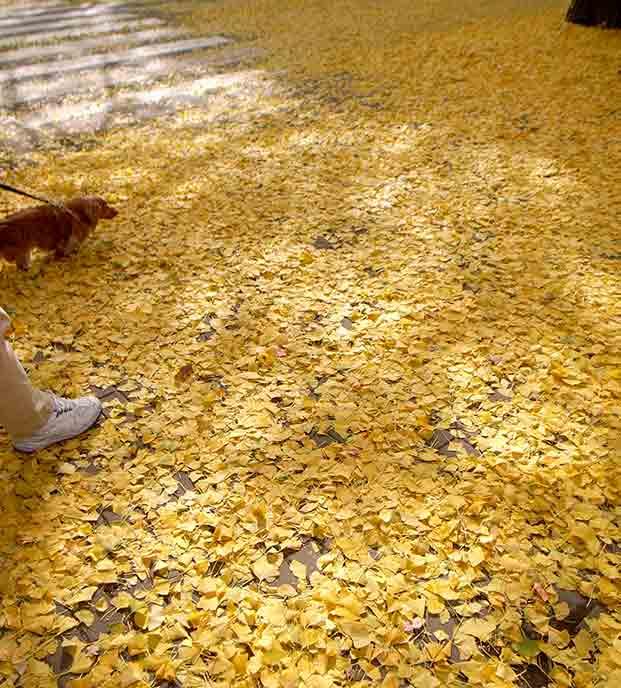 イチョウ並木の下は、黄色いイチョウの葉が落ちてまるで黄色い絨毯を敷いたように♪