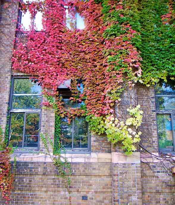 校舎に這うように広がるツタの緑も徐々に赤く染まっていきます。
