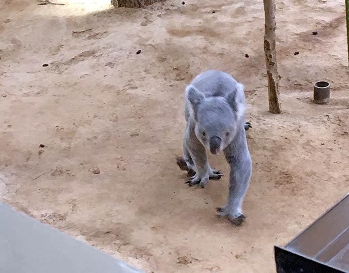 ユーカリの木から降りてノソノソと歩くコアラの珍しい姿が見れるかも!