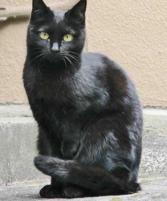お座りする艶やかな黒猫