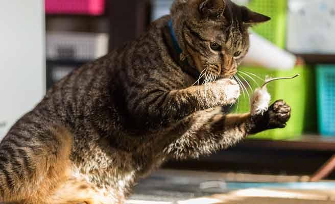 ネズミに飛びかかる猫