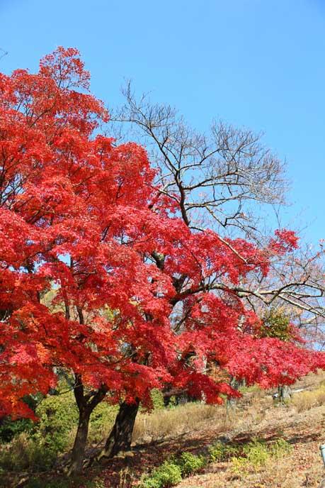 青い空と赤い葉のコントラストがとても美しい!