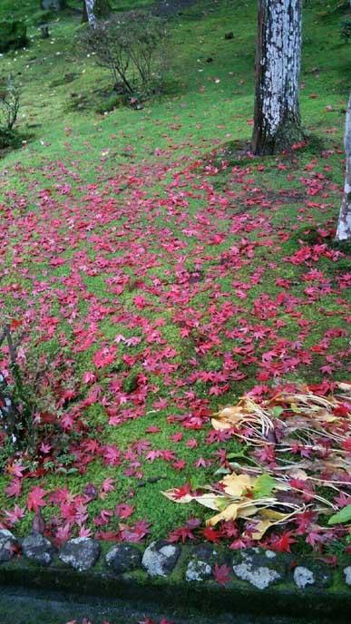 雨で落ちてしまった真っ赤な葉が緑の芝生に重なり、これもまた美しい秋の景色。