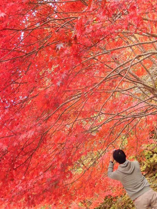 見事なまでに真っ赤に染まる葉。鮮やかな赤色に心を奪われます。