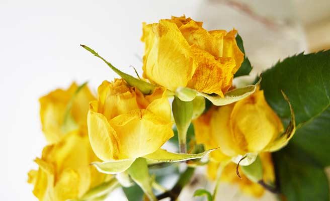 枯れ始めている黄色いバラの花
