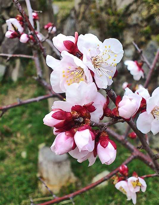 綺麗に咲く梅の花に癒されます♪