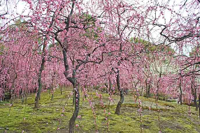 ピンクの可愛らしい花をたくさん咲かせた美しいしだれ梅