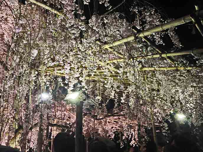 可愛らしい花をつけたしだれ桜。近くでみると迫力満点!