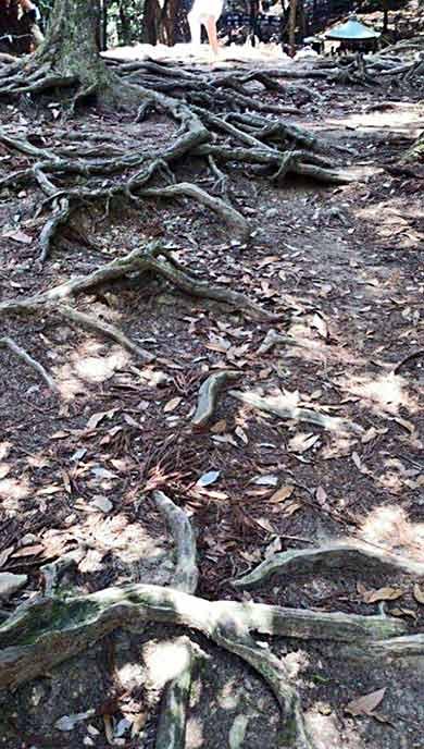 深く長く伸びていく木の根に生命の力強さを感じられる、人気のパワースポット☆