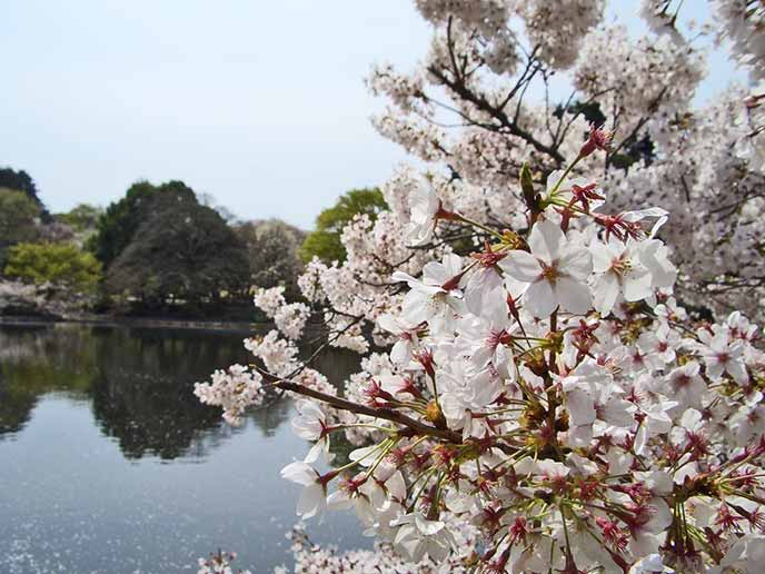 美しく咲き桜の向こうに池