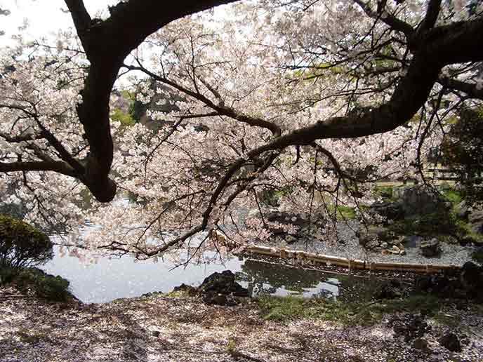 池に迫るように枝を伸ばす桜。水面に落ちた花びらにも春の風情を味わえます