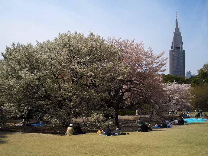 緑の芝生が広がる広場では、桜を眺めながらゆったりと過ごせます♪