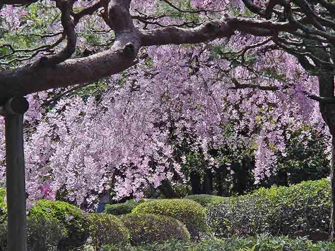 春には見事に咲く桜