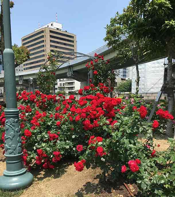 毎年春はバラが見頃を迎えます