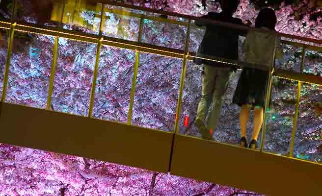 つり橋の上から夜桜を見るカップル
