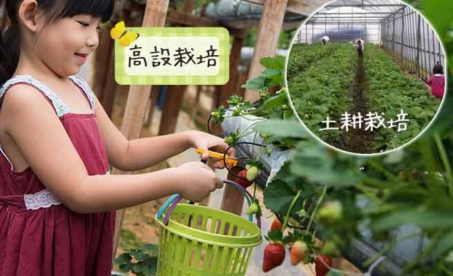いちご栽培の高設と土耕の方法