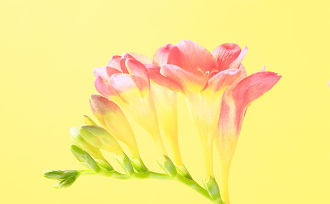 花フリージア