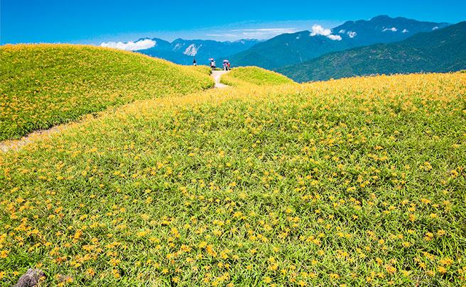トラユリの花畑