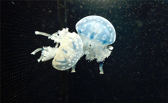 水族館のクラゲブース