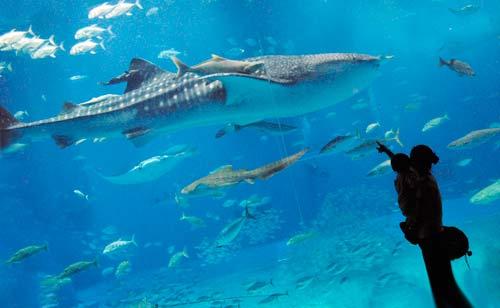 美ら海水族館のじんべいざめイメージ