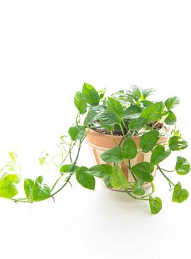 恋愛運UPの助っ人観葉植物といえばポトス